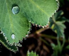 So Tiny. (Omygodtom) Tags: macro green garden outdoors spring nikon natural fuzzy bokeh tiny raindrop tamron90mm d7100