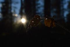 Autumn pic with sun and leaf (juliatatiana.holmgren) Tags: pictures camera autumn light sunlight nature colors beautiful sunshine outside evening leaf amazing cool europe afternoon photos sweden 55mm sverige dslr hst sunnyday zoomlens nikond3200 nikoncamera outdoorphoto bjurholm vsterbotten northofsweden nikon1855mm amazingcapture naturenikon agns digitalnikoncamera naturebynikon