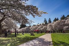 IMG_9466 (elenafrancesz) Tags: uw cherry blossoms wordless