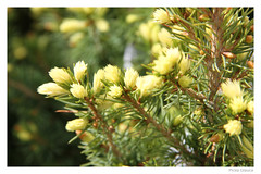 Picea Glauca (foggyray90) Tags: spring spruce rivendell picea glauca newgrowth whitespruce piceaglauca nottcutts