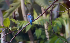 King Fisher (creazy_loverz) Tags: tree bird wildlife kingfisher