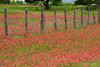 Indian Paintbrush (Happy Photographer) Tags: field fence texas country indianpaintbrush amyhudechek