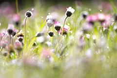 Morgentau II (anita.niza) Tags: daisies morningdew gnseblmchen