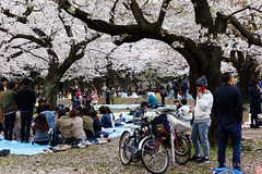 20160405-041-Picnics under Yoyogi-koen cherry blossoms (Roger T Wong) Tags: travel people holiday japan garden balloons tokyo spring picnic crowd harajuku cherryblossoms yoyogikoen 2016 canonef70200mmf4lisusm canon70200f4lis canoneos6d rogertwong