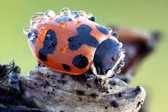Hippodamia septemmaculata (johnhallmen) Tags: macro insect ladybird ladybug coleoptera canonmpe65 canon5dmkii zerenestacker