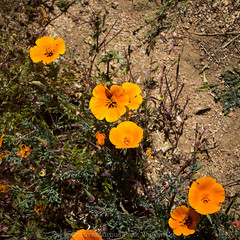 (daniel.hughley) Tags: statepark hiking mojave poppies wildflowers antelopevalley cran poppyreserve
