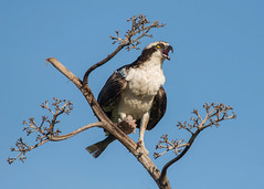 Osprey (PeterBrannon) Tags: fish bird nature florida eating wildlife raptor screaming calling osprey birdofprey pandionhaliaetus pinellascounty