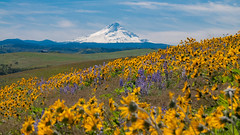 Wy'east in the Spring (Jeffery P.) Tags: columbiagorge balsamroot spring oregon wyeast mthood thedalles 7mile lupine wildflowers