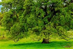 Oak Tree (cacheboyz) Tags: california county plymouth amador blending luminosity
