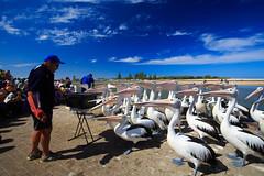 LR-160316-026.jpg (Finert) Tags: theentrance friendlyflickr pelicanfeeding 160316