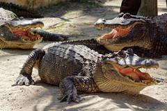 Pokaz aligatorów | Aligator show