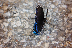 watermarkedIMG_2299 (Melissa Grose) Tags: blue black nature butterfly insect outdoor pavement gravel