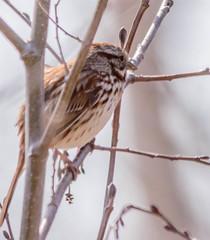 Sparrow (vernonbone) Tags: birds nikon sigma 500mm eastpoint d3200 april2016