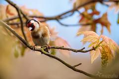 Spring Goldfinch (Nuzulu) Tags: tree garden goldfinch acer