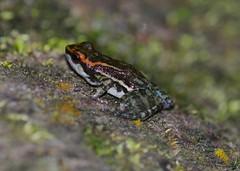 Los Tayos Rocket Frog (orientalizing) Tags: peru animals amphibians amazonbasin ahuashiyacu hyloxalusnexipus lostayosrocketfrog sanmartinprovince tarapotodistrict