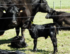 New (e r j k . a m e r j k a) Tags: ohio baby rural cows farm country amish pasture calf canfield mahoning oh14 erjkprunczyk oh46 i76oh