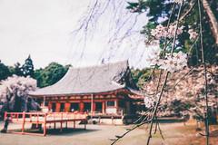Japan Kyoto . .  Skura in Daigo-ji     DSC_8444 (Ming - chun ( very busy )) Tags: travel flower japan cherry temple nikon kyoto blossom 28mm   cherryblossom  sakura nikkor f18   d800 28mmf18       traveljapan  japanstyle    sukura  nikon28mm18  f1828mm