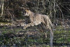 Jump !!! (carlo612001) Tags: jump felini cheetah ghepardo