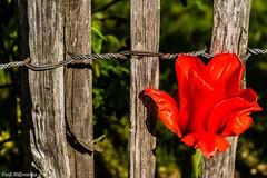 Blume am Zaun (Foo) Tags: rot natur pflanze blume zaun draht