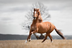 Red Spaniard (Hestefotograf.com) Tags: portrait horse motion beauty animal oslo norway hair caballo cheval movement wind spirit blowing headshot cavallo cavalo pferd equine mane hest paard spaniard hengst purarazaespanol equinephotography hestefotograf