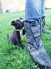 Boot (Amberly Marlene) Tags: dog baby 6 puppy mutt weeks hobbit bilbo