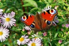flowers (welenna) Tags: flowers autumn butterfly herbst blumen makro schmetterling