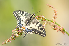 Le Machaon ou Grand porte-queue (Papilio machaon) (lolo_31) Tags: papilionidae machaon papilioninae rhopalocres papiliomachaonlinnaeus1758 papillondejour