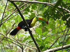 Keel-billed Toucan - Achiote, Panama (Michael Klotz - The Bird Blogger.com) Tags: trees red black yellow colorful birding jungle panama birdwatching colon achiote keelbilledtoucan ramphastossulfuratus thebirdblogger