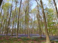 Hallerbos 2016 (Filip M.A.) Tags: bluebells forest de belgium belgique belgi hal halle jacinthes bois belgien hallerbos    hyacinthen