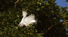 Dancing in Trees, iii (F.emme) Tags: birds snowyegret egrets