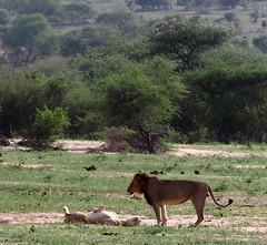 Lion pair (little_duckie) Tags: africa southafrica buffalo zebra cheetah giraffe impala hyena rhinoceros krugernationalpark kruger gamedrive kudu bushbuck