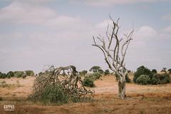 _N6A1592 (Kappas valokuvaamo) Tags: africa park trees wild game nature animal animals landscape drive kenya wildlife east safari national kenia tsavo afrikka