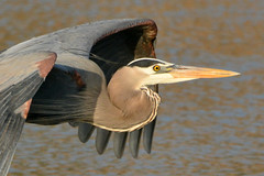 Great Blue Heron (NaturalLight) Tags: blue heron flying great kansas wichita chisholmcreekpark