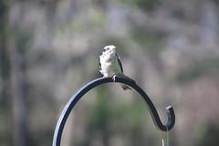 Downy Woodpecker (Saline, Michigan) (cseeman) Tags: birds spring backyard woodpecker downywoodpecker michigan feeder saline suet suetfeeder
