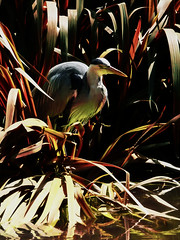 Patience is an Ambush (Steve Taylor (Photography)) Tags: uk greatbritain iris red england brown lake black reflection green bird london art heron yellow contrast digital grey pond unitedkingdom gb dappled patience