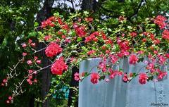 Flores bugambilias (MariaTere-7) Tags: parque flores los venezuela caracas trinitarias caobos maratere7