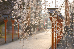 Hirano-jinjya Shrine in Spring (Active-U) Tags: japan kyoto