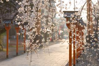 朝日の平野神社 / Hirano-jinjya Shrine in Spring