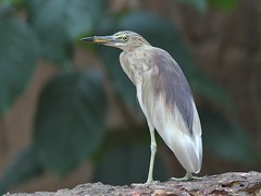 Indian Pond Heron (SivamDesign) Tags: bird heron fauna canon eos rebel pond kiss indian 300mm breeding tele x4 indianpondheron ardeolagrayii 550d canonef300mmf4lisusm t2i