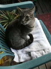 Hugo on the alert (Philosopher Queen) Tags: chat tabby kitty gato hugo graycat silvertabby