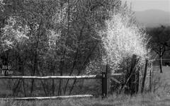 The scent of spring (KF-Photo) Tags: zaun tbingen blhen whiteblossoms holzzaun holzgatter weiseblten prondorf weiserbusch samyang1485
