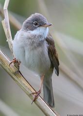 White throat : Sylvia communis (Jerry Hawker) Tags: bird somerset rspb somersetlevels hamwall rspbhamwall