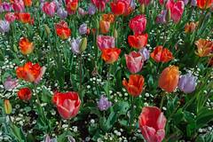tulips | torquay (John FotoHouse) Tags: uk flowers england color colour tourism flickr fuji tulips devon torquay johndolan 2016 dolan southdevon leedsflickrgroup johnfotohouse copyrightjdolan fujifilmx100s