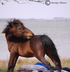 Itchy-Assateague Island-Maryland (moelynphotos) Tags: horse nature bay maryland wetlands marsh assateagueisland campsite itchy feral scratching animalsinthewild oneanimal assateaguenationalseashore assateaguepony moelynphotos