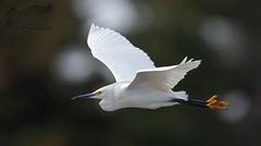 Snowy Egret 4_29 (krisinct- Thanks for 12 Million views!) Tags: canon mark ii 7d 500 f5