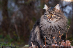 Mia (jirka.zapalka) Tags: winter animal cat village czech