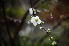 Chaenomeles Nivalis (lumofisk) Tags: blumenimlicht blte chaenomeles winter zierquitte blhen flower flowering flowersinlight nikondf 0mmf0 50mm
