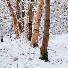 Snow trees. (Stuart Stevenson) Tags: uk trees winter snow photography scotland clydevalley apicoftheweek stuartstevenson wwwzerogravitymeuk