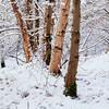 Snow trees. (Stuart Stevenson) Tags: uk trees winter snow photography scotland clydevalley apicoftheweek stuartstevenson wwwzerogravitymeuk