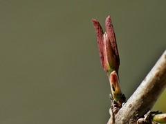 Karwinskia humboldtiana, (Roem. & Schult.) Zucc. (carlos mancilla) Tags: plantas macrofotografa raynoxdcr250 olympussp570uz coyotillo cacachila karwinskiahumboldtianaroemschultzucc tullidora